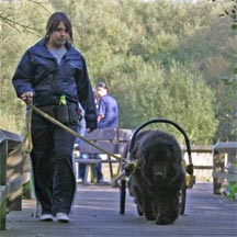 picture of black Newfoundland dog, Nutbrook Peaceful Waters pulling cart, with handler