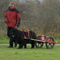 Newfoundland performing a carting test