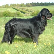 picture of black Newfoundland dog Aquasilk Easy Life - Cassie