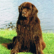 Picture of brown newfoundland dog Chetwoot Tcichi sat at waters edge
