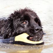 photo of black newfoundland dog swimming