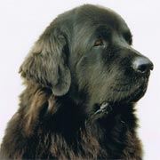 picture of black newfoundland dog Pendragon Georgy Girl - Georgy