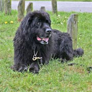 picture of black newfoundland dog, Warrgem prince (gruff)