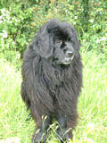 Mileoak Blue Cross a Black Newfoundland