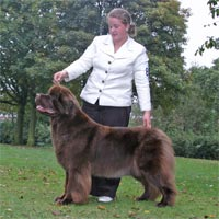 picture of brown newfoundland dog CH Shalowseas Bear Necessity