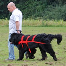 picture of black Newfoundland dog, sheridel loxley