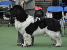 Special Open White & Black (Landseer) Dog winner