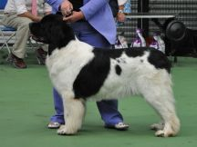 Special Open White & Black (Landseer) Bitch winner