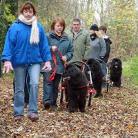 Newfoundlands carting in the forest