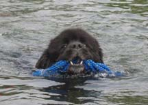 Newfoundland Dog Swimming